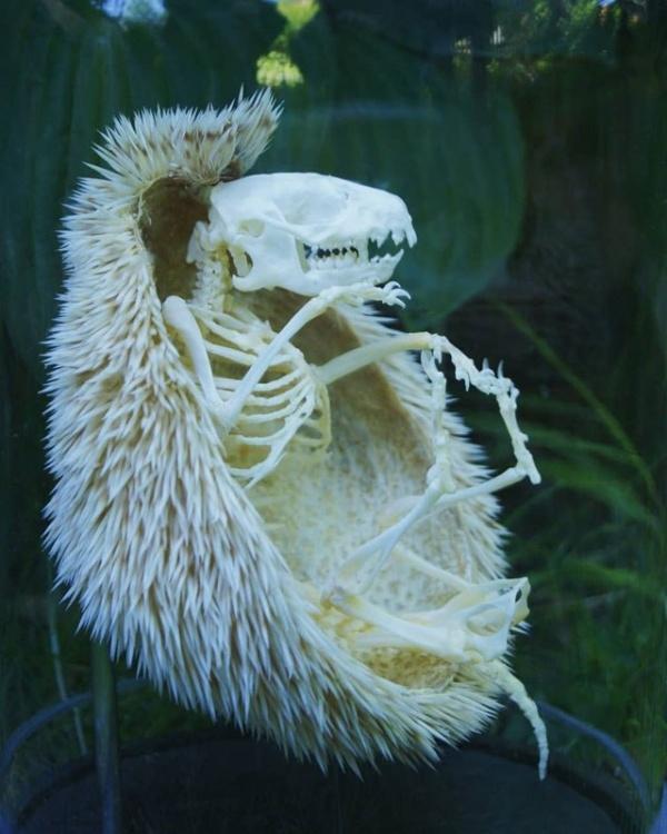 Как выглядит скелет ежа