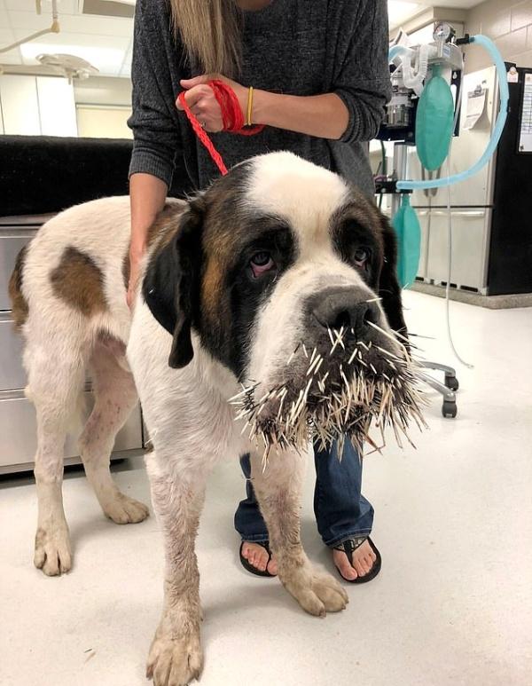 Неприятная встреча собаки с дикобразом