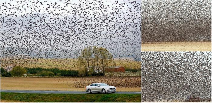 Удивительное зрелище: сотни тысяч скворцов над полем во Франции
