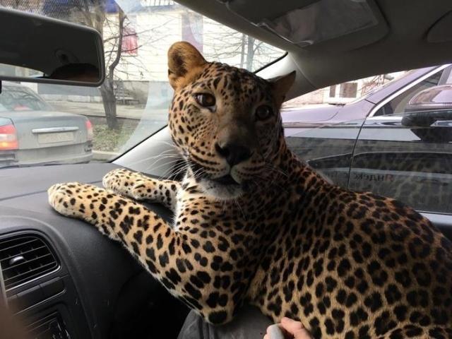 """Пассажир такси с """"большой кошкой"""""""
