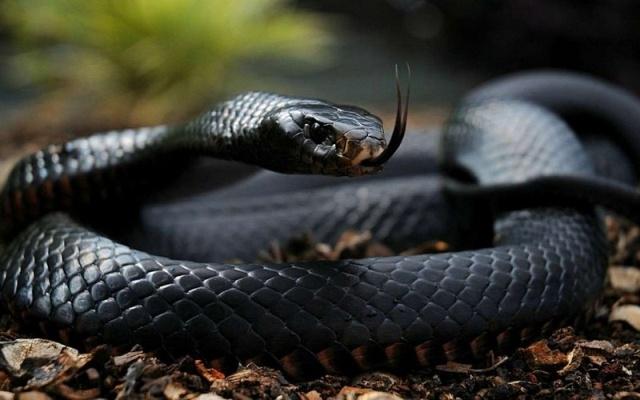 Самые опасные и ядовитые в мире змеи
