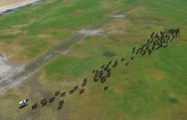 Knickers - самая массивная корова в Австралии