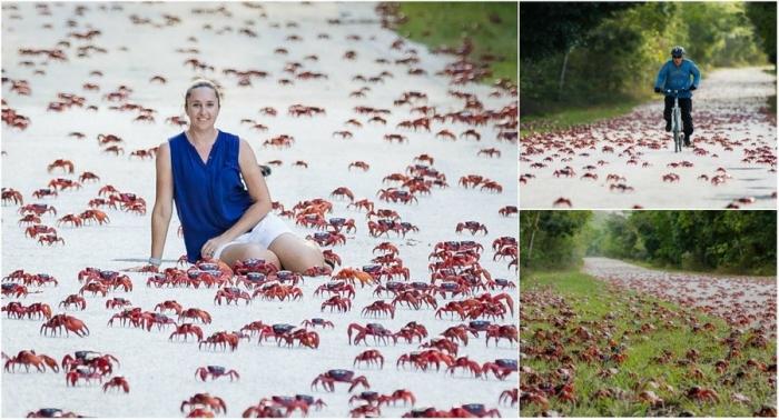 Удивительные кадры миграции крабов на острове Рождества