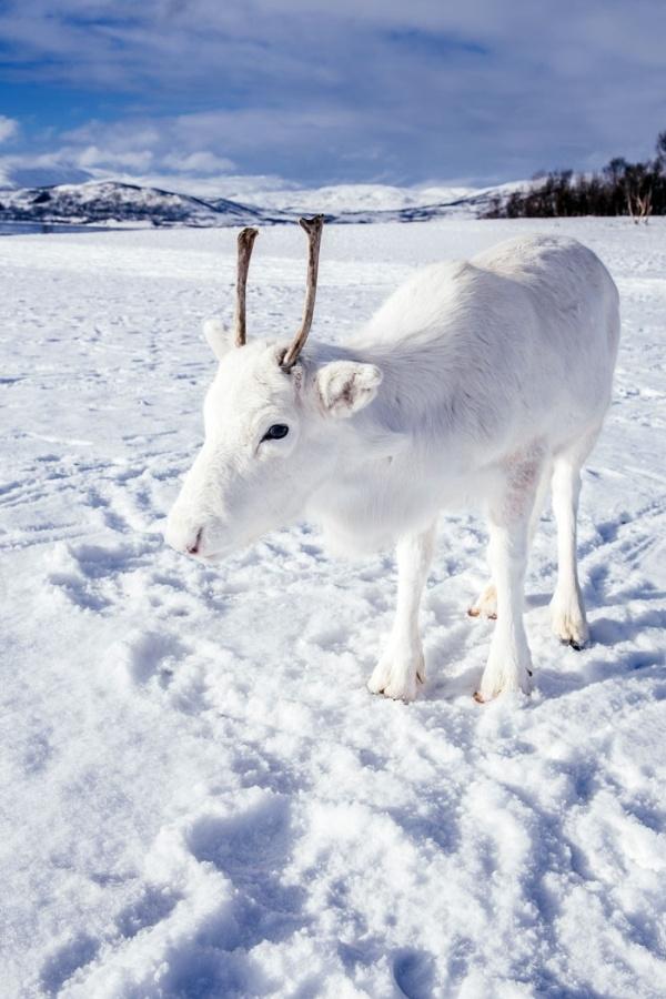 Уникальный белый олень попал на фото в Норвегии