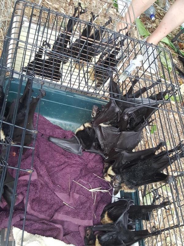 Австралийка была вынуждена переехать после того, как обнаружила несколько тысяч мертвых летучих мышей в своем дворе
