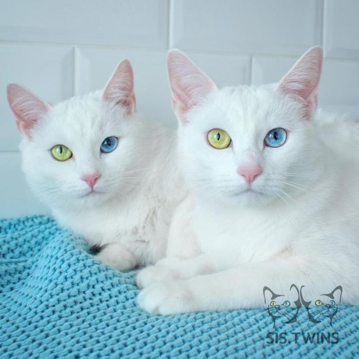 Белоснежные кошки-близнецы с разными глазами