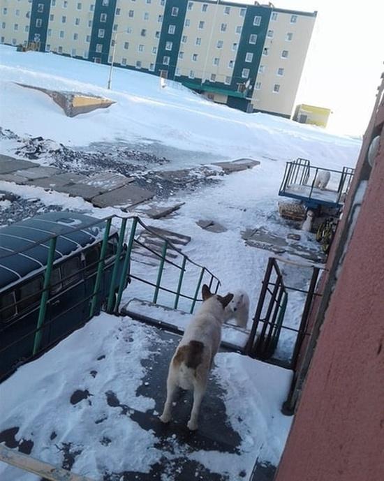Эти фотографии шокировали Европу - нашествие медведей в Архангельской области