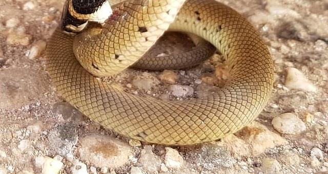 Австралийская битва ядовитого паука и змеи