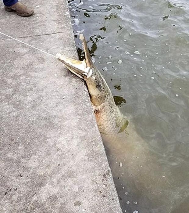 В Новом Орлеане в парке выловили доисторическую рыбу