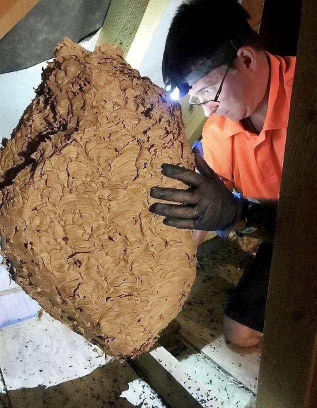 Хотели починить котел и нашли на чердаке гигантское гнездо на 20 000 ос