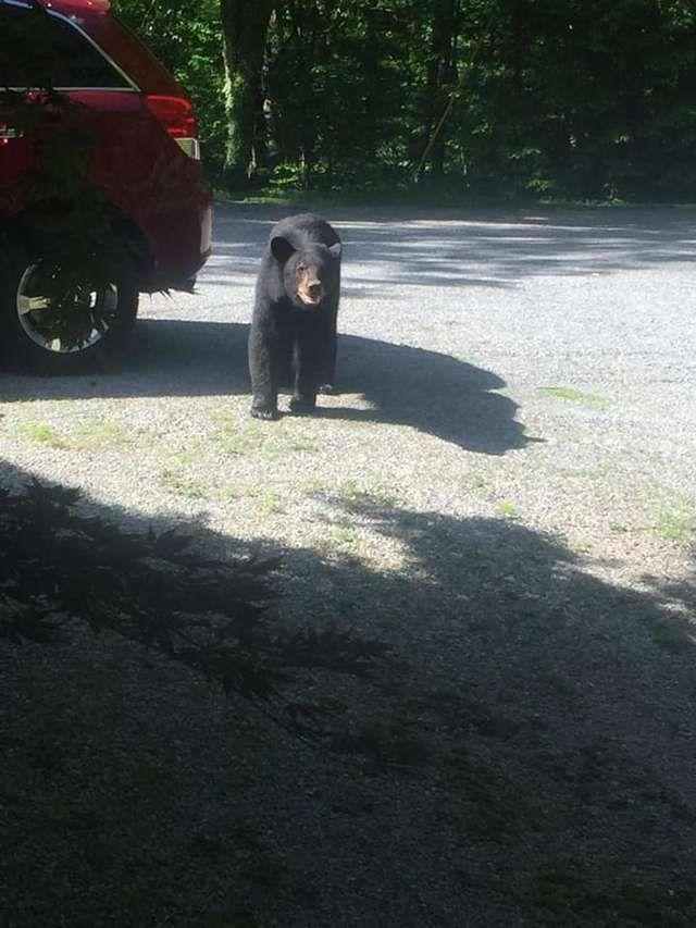 Мужик не закрыл окна в машине, и ее чуть не угнали медведи