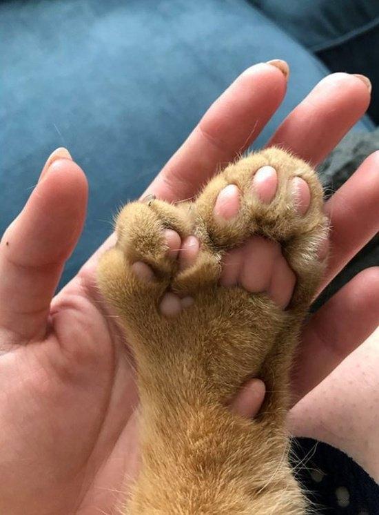 Необычный котик, у которого на передних конечностях есть дополнительные лапки