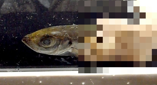 В Японии живут 70-сантиметровые черви