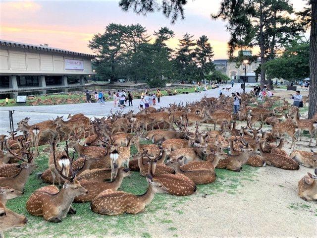 Шикадамари - загадочный феномен летней тусы оленей в парке