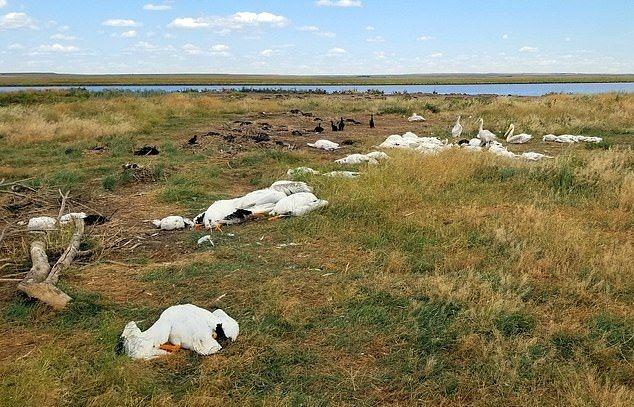 В штате Монтана огромный град убил 11 000 пеликанов, бакланов и уток