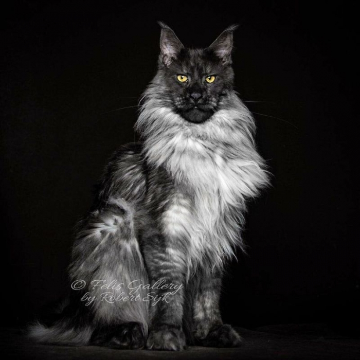 Настоящий кот для Воланда - гигантский мейн-кун с величественной мордой