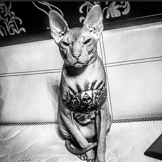 Внимание: потерялся кот-сфинкс по кличке Бес