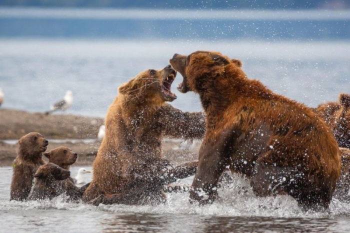 Агрессивный самец решил напасть на медвежат, и на защиту встала их мать