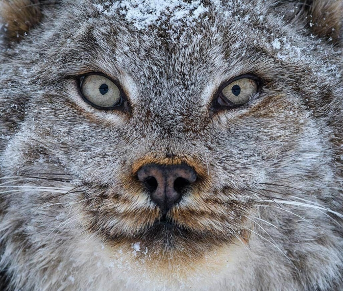 Канадская рысь - редкое животное с огромными лапами