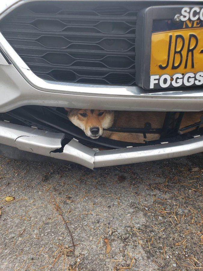 Автоледи сбила сиба-ину и почти час каталась с ней в бампере