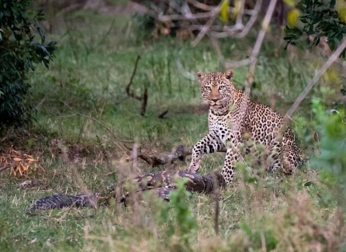 Фотографу удалось заснять смертельную схватку питона с леопардом