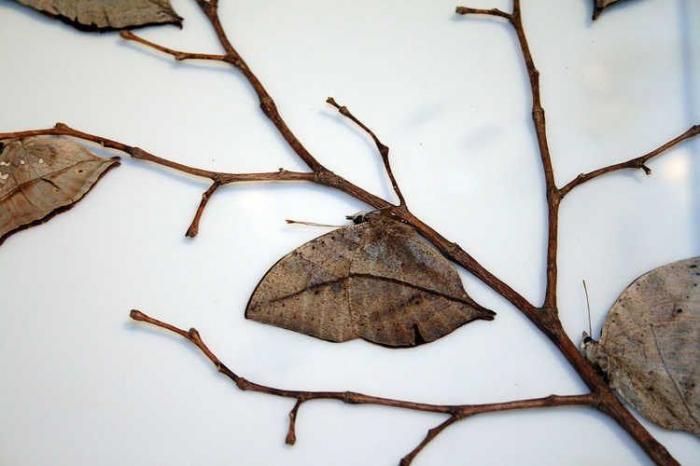 Под видом засохшего листика скрывается мастер маскировки