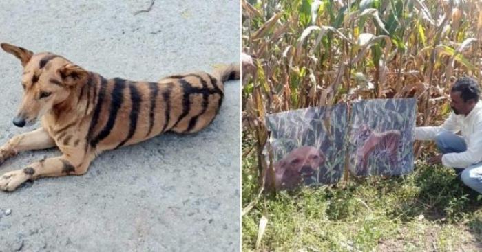 Фермер покрасил собаку под тигра, чтобы та отпугивала наглых обезьян