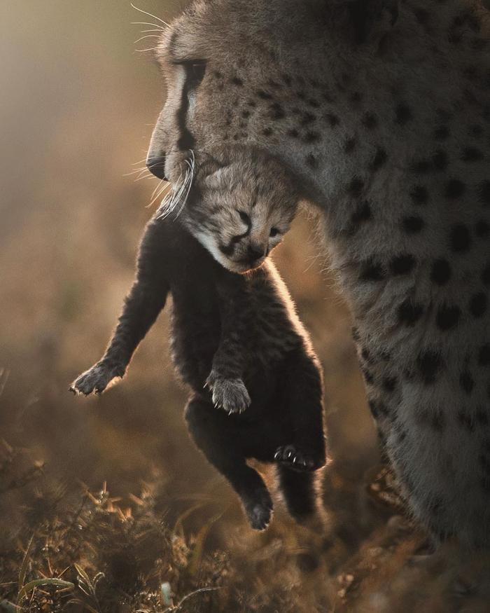 Большие кошки на снимках Шааза Джунга