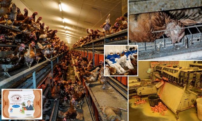 Жуткие кадры с британской птицефабрики