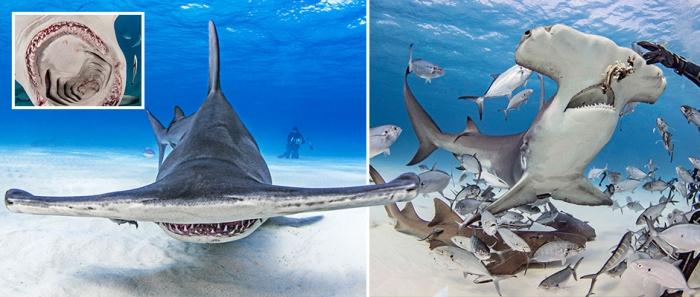 Впечатляющие кадры: дайверы кормят акулу-молота