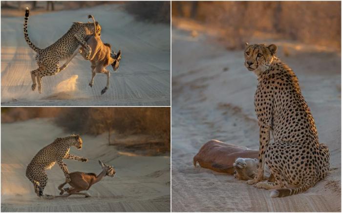 Впечатляющие кадры нападения гепарда на молодую антилопу