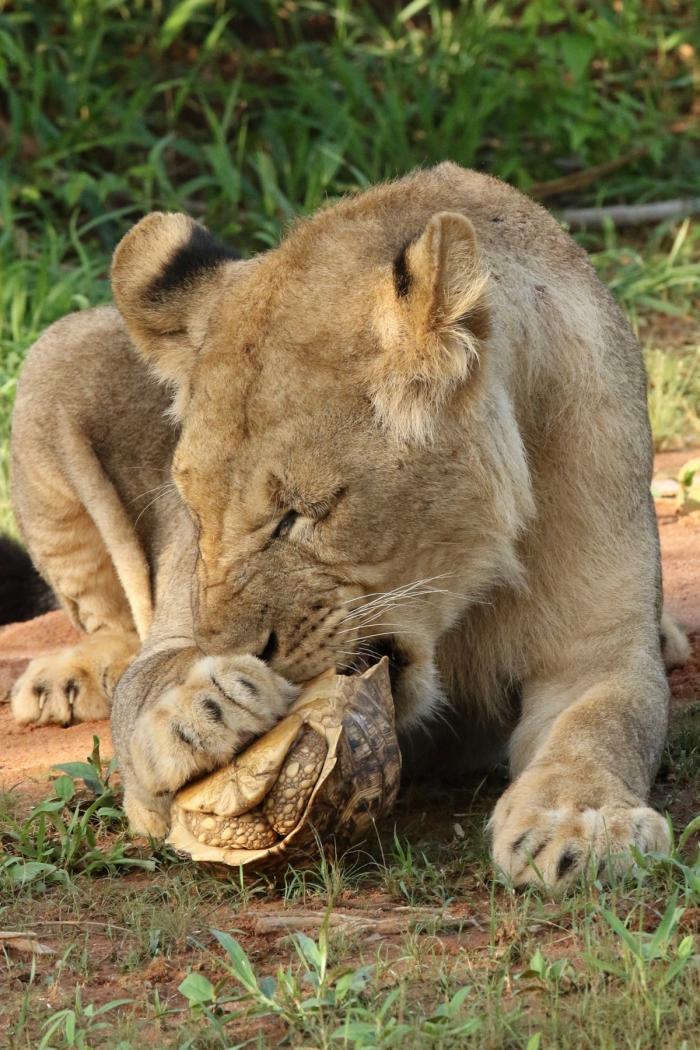 Молодой лев поймал черепаху, но съесть не смог