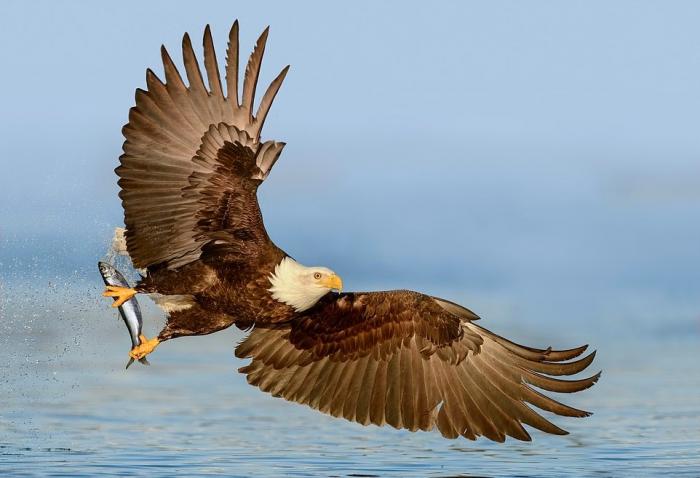 Впечатляющие кадры: белоголовый орлан на рыбалке