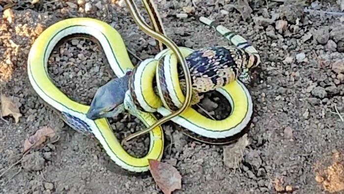 Смертельная схватка ящерицы и змеи