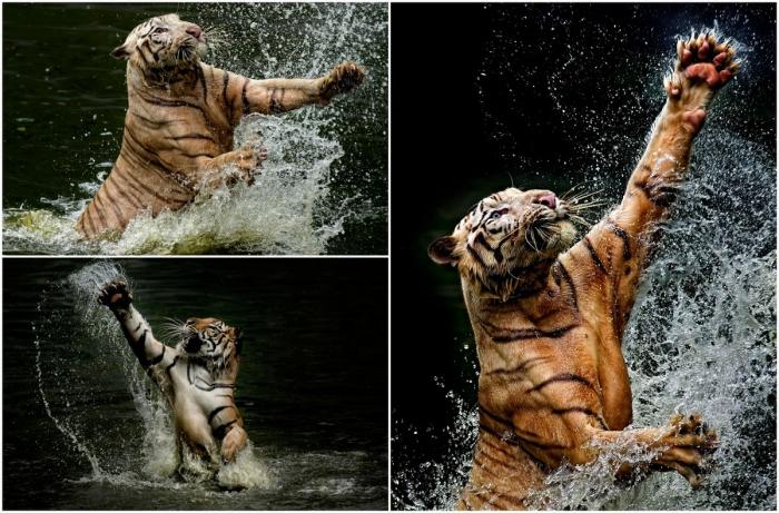Интересные кадры: тигр плещется в воде