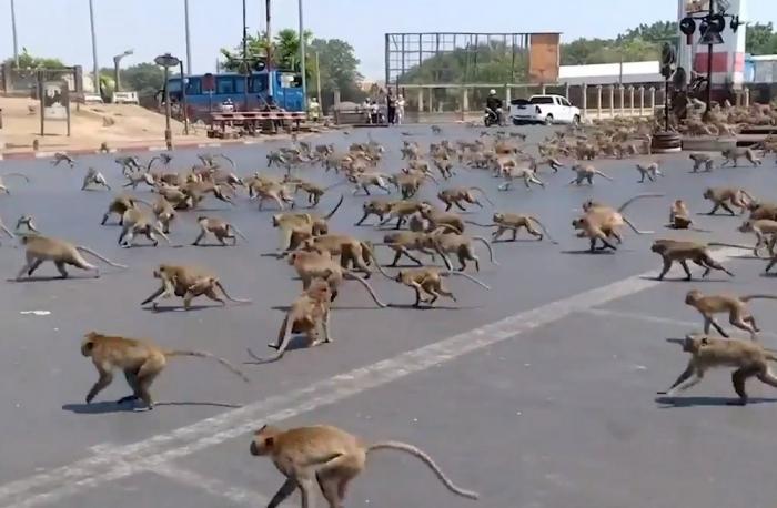 Сотни обезьян кастрированы после того, как устроили беспорядки и набеги на дома в Таиланде