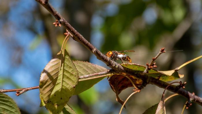 Гнездо смертоносных азиатских шершней уничтожили в Вашингтоне