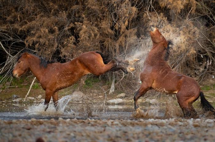 Впечатляющие кадры взаимоотношений диких лошадей