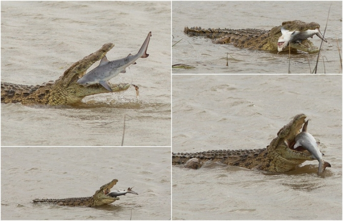 Впечатляющие кадры: крокодил проглотил акулу в Австралии