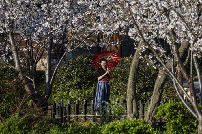 Фестиваль цветения сакуры в Китае