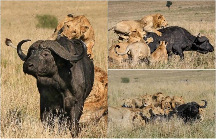 Впечатляющие фото львы завалили буйвола в Кении
