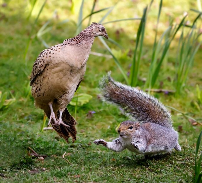 Захватывающие кадры драки белки и фазана