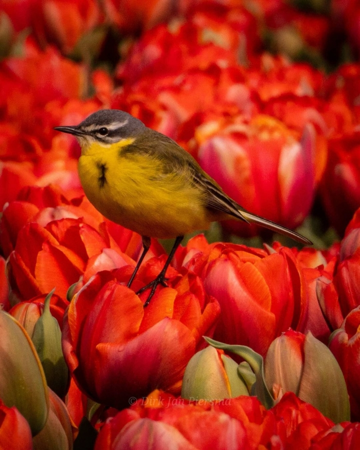 Поля цветущих тюльпанов на снимках Дирка Яна Пирсма