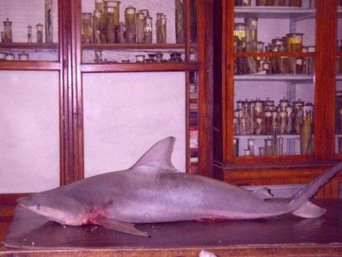 Акула в неве