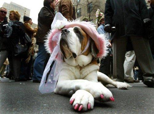 Пёсики при параде (31 фото)